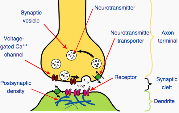The meeting point between two neurons is a synapse Axon ...