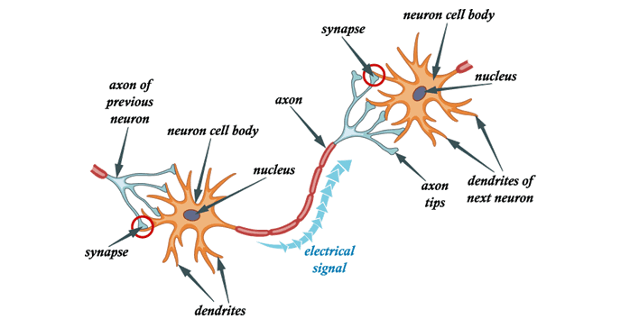 communication process of neurons in the brain essays These anatomical structures participate to complete the communication process neurons are capable of transmitting messages via two distinct methods, chemical and .